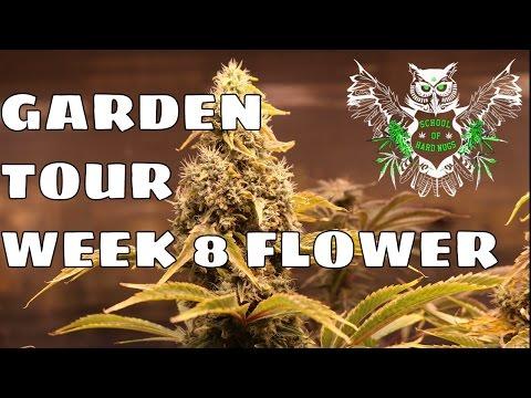Cannabis Garden Tour - Week 8 Flower | How to know when weed is finished | Marijuana Garden Tour