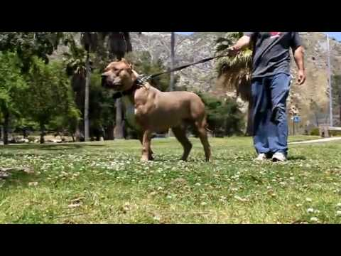 Largest Bully XXL PITBULL, BGK's BIG SEXY X VIKING breeding, BIG GEMINI KENNELS, 142 POUND PITBULL !