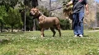 Largest Bully XXL PITBULL, BGK's BIG SEXY X VIKING breeding, BIG GEMINI KENNELS, 142 POUND PITBULL !