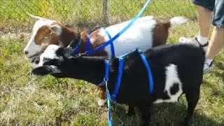 Leash Trained Goats Go For A Ride And Walk! Starring Pumpkin And Cookie