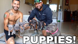 New Exotic Bully Puppies! *My Dog is a Dad!*