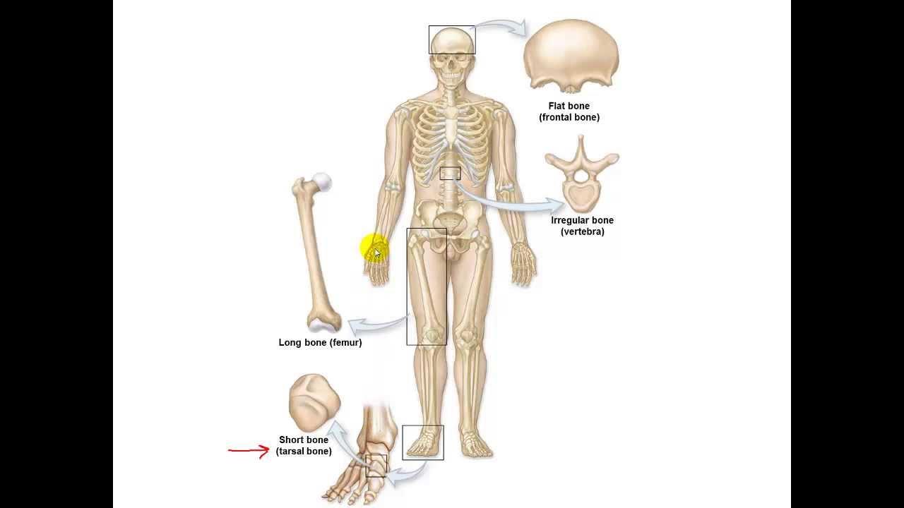Bone Anatomy and Physiology - YouTube