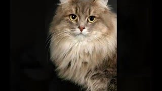 Сибирские кошки /Siberian cats