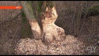 В Бресте бобры подтапливают земельные участки и грызут исчезающие породы деревьев