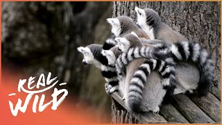 Baby Lemurs Snuggling | Baby Animals In Our World | Real Wild