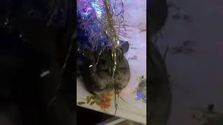 Шиншилла Шуша помогает наряжать елку