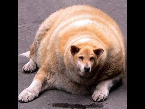 World Quot S Fattest Dog Youtube