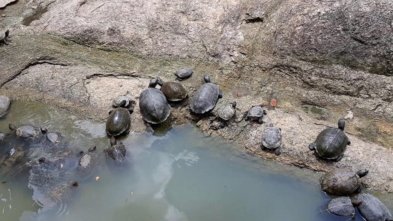 เต่า เต่า เต่า เยอะมากที่วัดปีนัง มาเลเซีย
