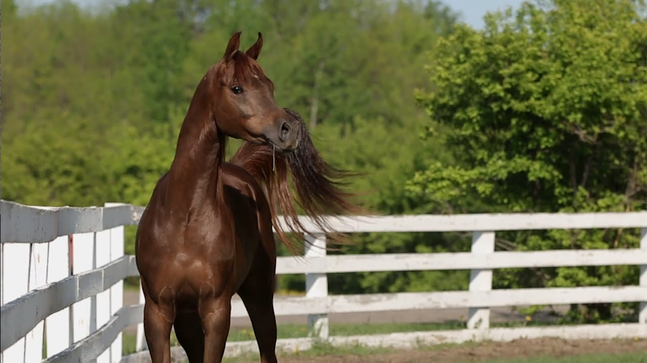 Danielson Arabian Horses For Sale Youtube