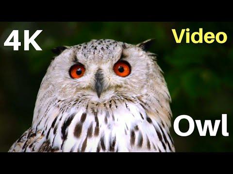 Great Horned Owl on the Hunt   Owl 4K Video   Barn Owls ...