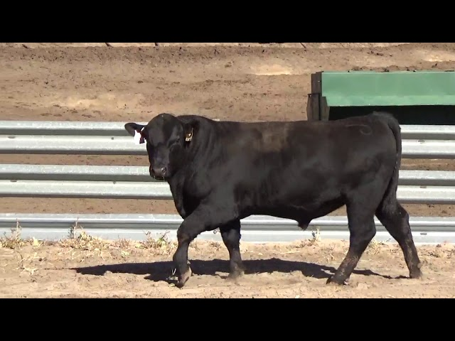 Connealy Angus Lot 2