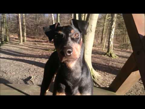 Manchester Terrier Black Bandits Sputnik - the first year of life