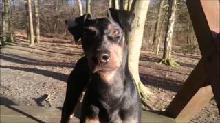 Manchester Terrier Black Bandits Sputnik  the first year of life