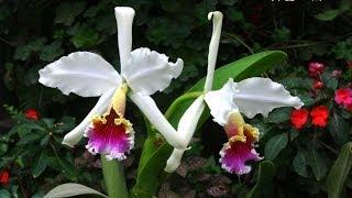 Orquideas del Peru 1. Peruvian Orchids 1