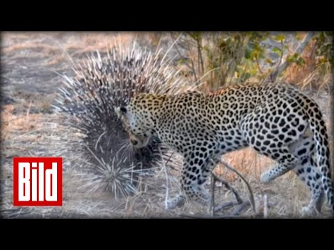 Leopard vs Stachelschwein : Kampf im Nationalpark ( hedgehog / Afrika / Savanne )