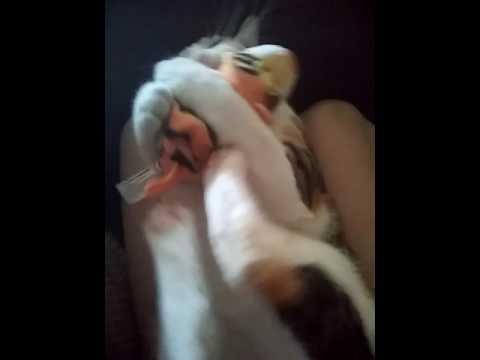 My kitten jazzy playing my stuffed animal