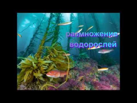размножение водорослей