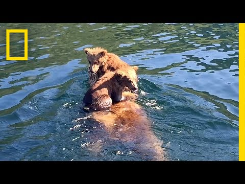 Adorable Bear Cubs Hitch a Ride on Mom's Back | National Geographic