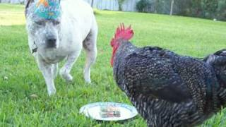 PitBull Sharky's 3rd Birthday! Rooster gives a Dance!