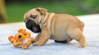 Funny and Cute French Bulldog Puppies Compilation - Funny Puppy Videos 2020