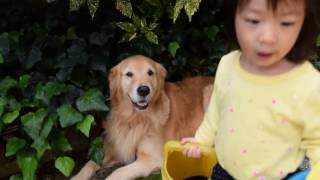 Hi,there! how are you? Do you know my dog? So cute! Golden retrieve...