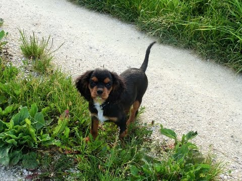cavalier king charles spaniel puppy - black and tan 4