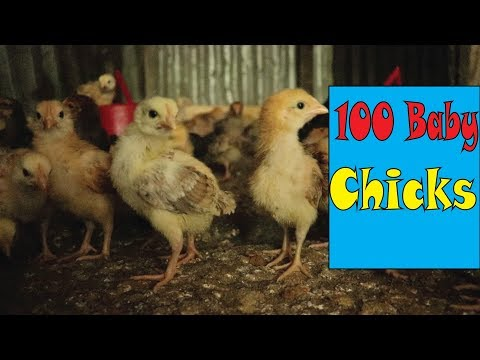 100 Cute Baby Chicks Eating Together In A Farm | How To Nurture 100 Baby Chicks | Fish Corn