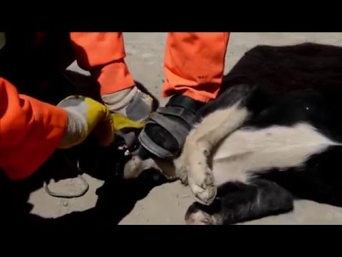 ✦CRUEL HUNTING OF STRAY DOGS IN KABUL-AFGHANISTAN✦
