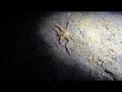 Wonderpus Octopus in Lembeh Strait - HD