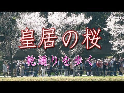 平成最後の皇居の乾通のさくらの一般公開が始まった。