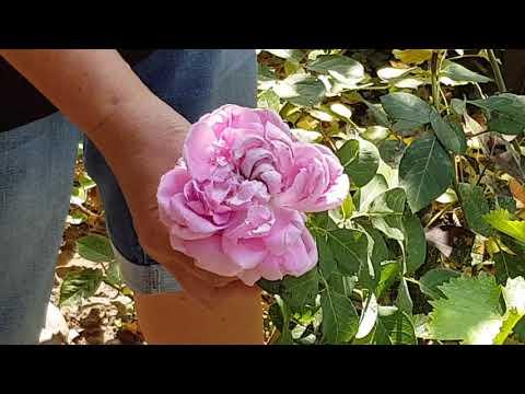Красивые пионовидные розы в моем саду