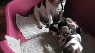 beagle szczeniaki miot v w wieku 4 tygodni