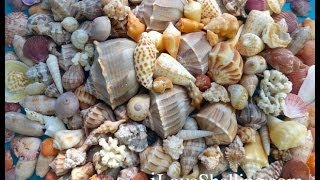 Thanksgiving Feast Of Seashells In Southwest Florida
