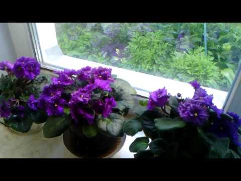 цикламен и фиалка комнатные цветы