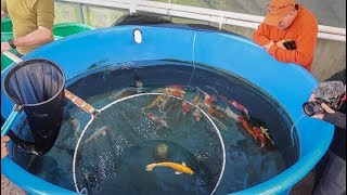 BUYING KOI FISH for NEW POND!!