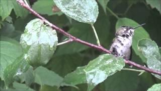 Hummingbirds enjoying the Water Mister