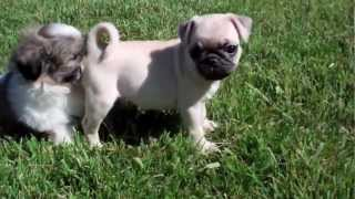 Mason The Shih Tzu & Sophie The Pug!  Puppy Avenue San Diego Puppies For Sale