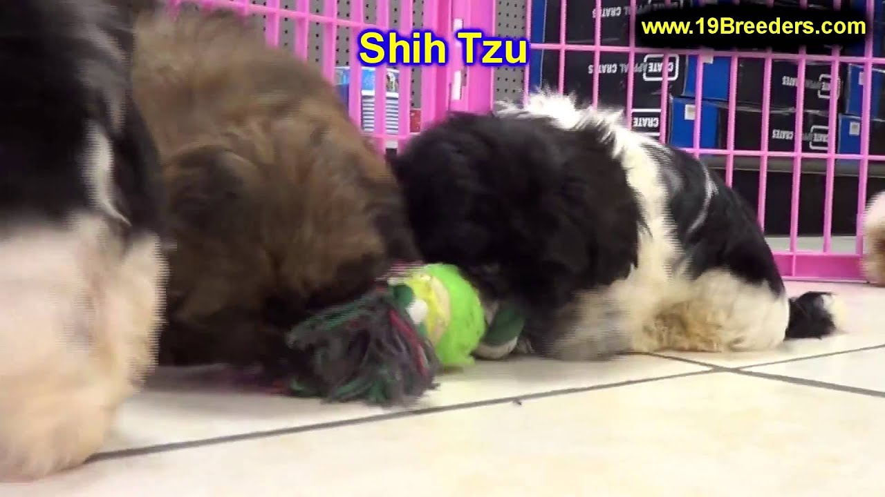 Shih Tzu, Puppies, Dogs, For Sale, In Memphis, Tennessee ...