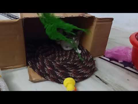 My lazy cat (kitten) playing...
