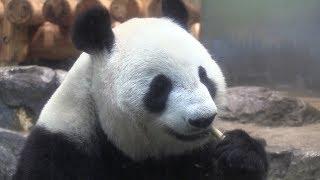 パンダの赤ちゃん、来園者も期待 シンシン展示中止へ thumbnail