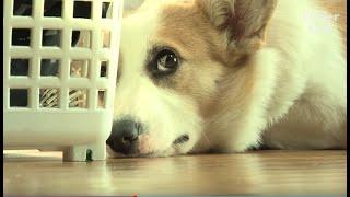 Corgi Dog Gotta Have It All To Rebel Against Her Parents?!   Kritter Klub