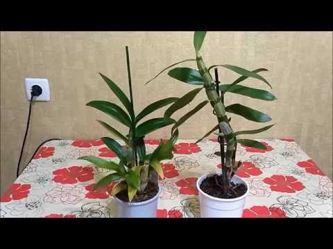 В чем разница между орхидеями Дендробиум Нобиле и Дендробиум фаленопсис