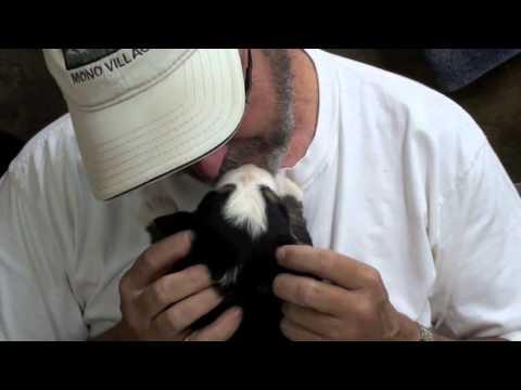 Bernese Mountain Dog Pups at 19 days