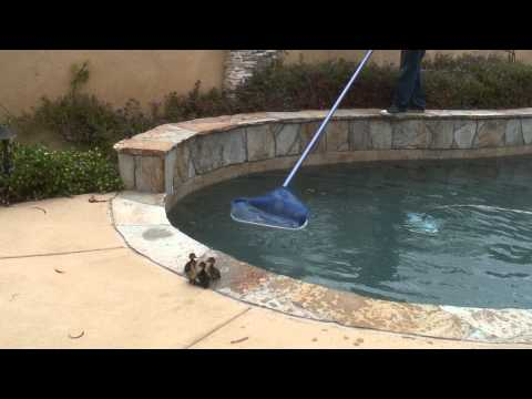 Ducklings Trying to Escape from Swimming Pool