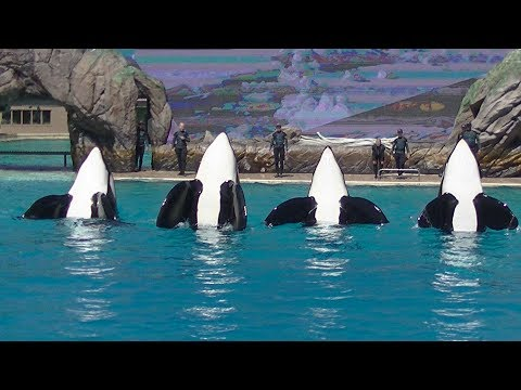 Orca Encounter goes wrong (Ultra HD) Aug. 23, 2019 - SW San Diego