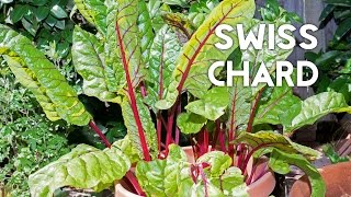 How to grow & harves Swiss Chard in containers + Recipe