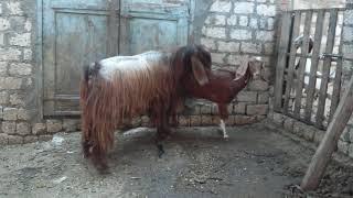 تزاوج الطلوقة الشامى حمادة مع أنثى خليط لتحسين السلالة #المزرعة_الهولندية_للنوادر