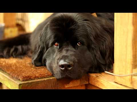 Newfoundland Dog Therapy | Relaxing | Stress Relieving