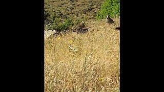 Keklik Tuzağa Nasıl Düşürülür ? İzlemeden Geçme. Sason Keklik Avı 4 HD