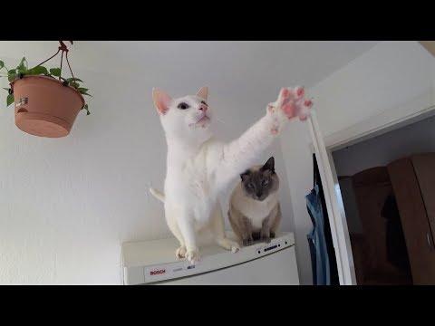 Healthy DIY Cat Treat Recipe & my Siamese Cats (Gesundes Katzenleckerlie-Rezept & meine Siamkatzen)